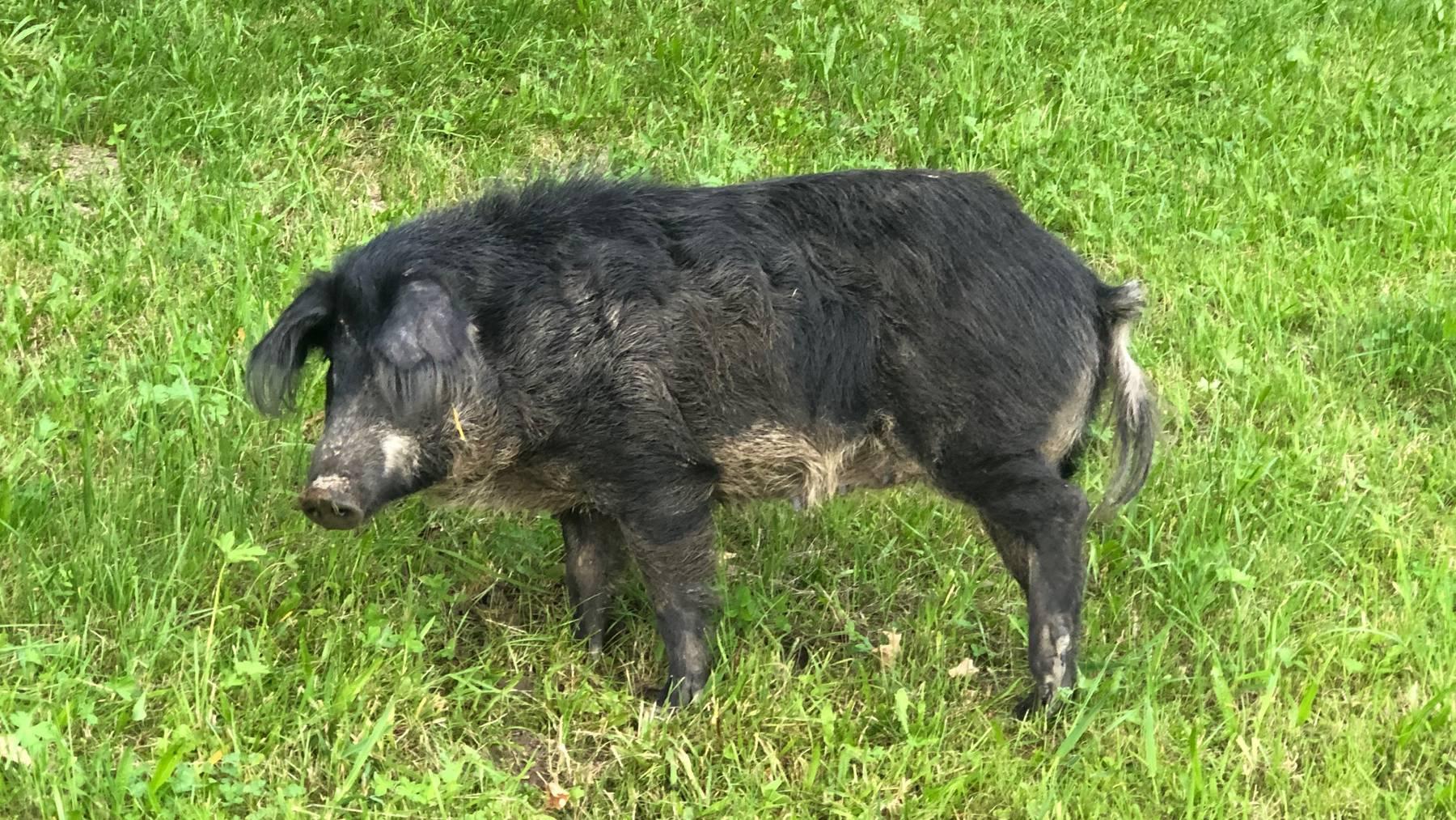 Das Schwein musste getötet werden.