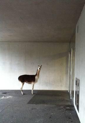 «Morgen!», hat das Lama zwar nicht gesagt, aber wohl zumindest gedacht.