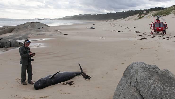 Mehr als zwei Dutzend Grindwale gestrandet: Eines der verandeten Tiere am Strand des Nationalparks Croajingolong.