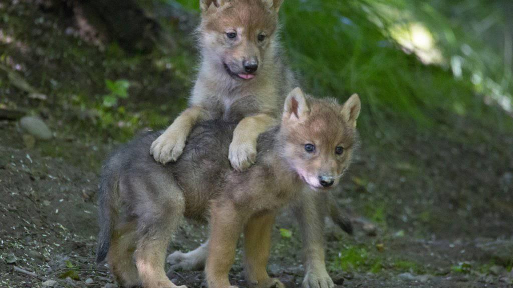 Im Zoo beliebt, in der Wildnis gefürchtet: Der Ständerat will den Wolfsschutz lockern und das Raubtier auch in Schutzgebieten ins Visier nehmen. (Themenbild)