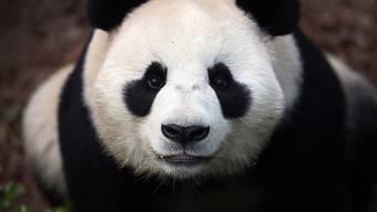 Der Klimawandel könnte ihm den Garaus machen: der Grosse Panda könnte in gewissen Regionen verschwinden. (Archivbild)