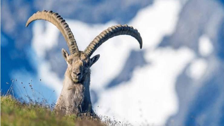 Wie dieser leben heute rund 300 Steinböcke im Schweizerischen Nationalpark im Kanton Graubünden.