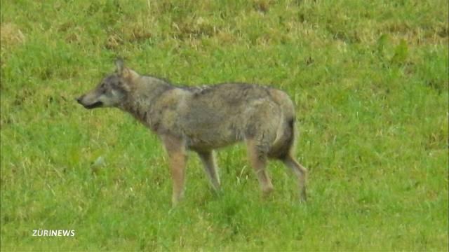 Wolf in Horgen gesichtet