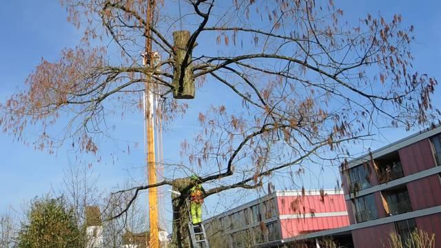 Hier geht das Leben des Mellinger Urweltmammutbaumes zu Ende