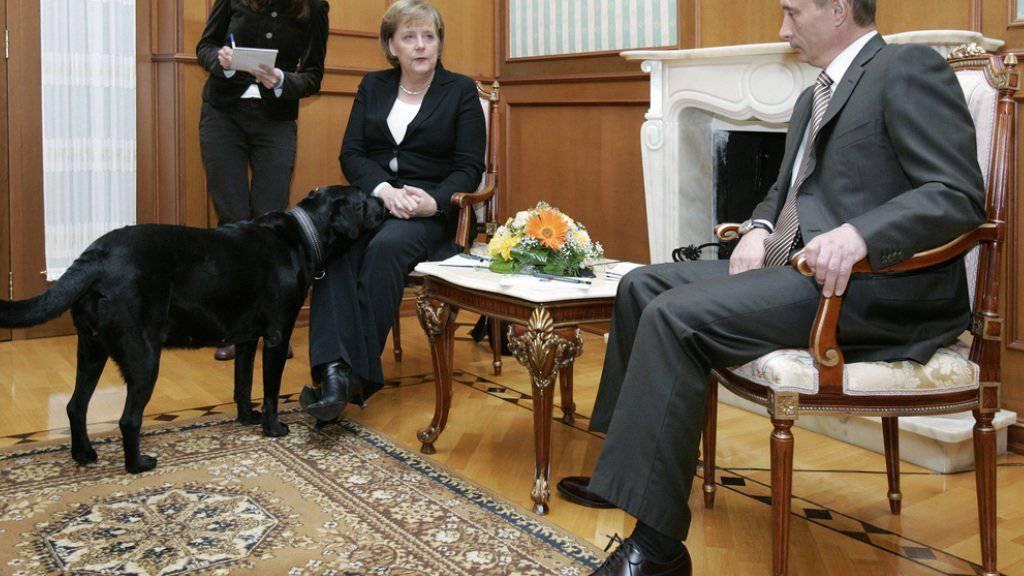 Offenbar doch ein geplanter Affront: Obwohl Wladimir Putin vorgängig informiert worden war, dass sich Angela Merkel vor Hunden fürchtete, konfrontierte er sie 2007 mit seinem Labrador Koni (Archiv).