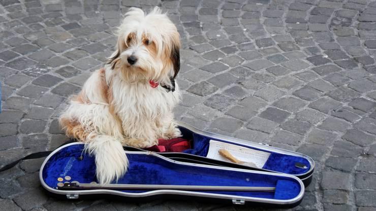 Im Geigenkasten ist es wärmer als auf dem kalten Altstadt Pflaster in Aarau. Mein Herrchen fiedelt - ich pass auf ihn auf.