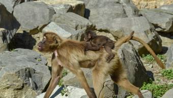 Auf dem Rücken der Mutter reitet ein junger Dschelada durch das Afrikanische Semien Gebirge des Zoos Zürich.