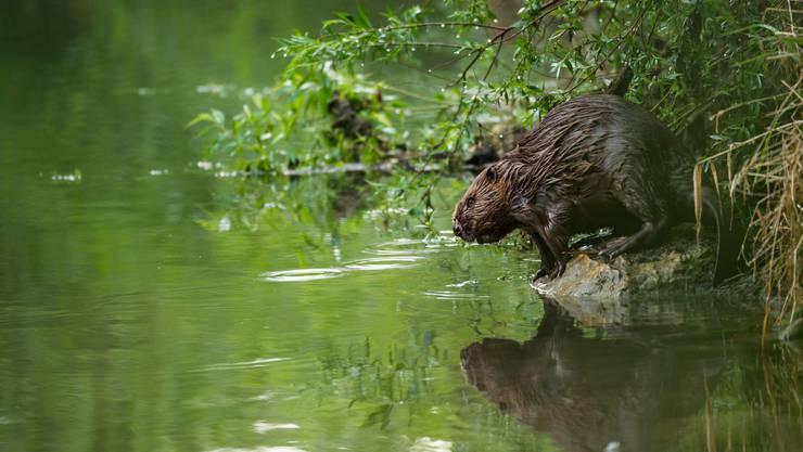 An einem regnerischen Tag fotografiert Nicolas Petit den Biber am Ufer der Limmat