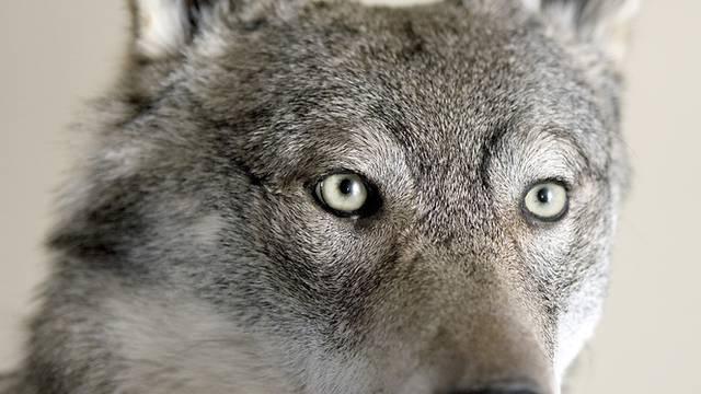 Wölfe rissen im Wallis Schafe (Archiv)