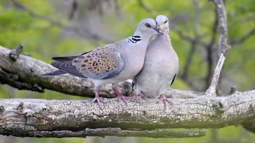 Vogelschutz erinnert am Valentinstag an Schutz der Turteltauben