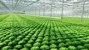 Ein Anblick, wie er sich bald in Oftringen bietet: Salat, so weit das Auge reicht. Ab April 2016 werden die Produkte aus der Hydrokultur-Produktion im Handel sein.