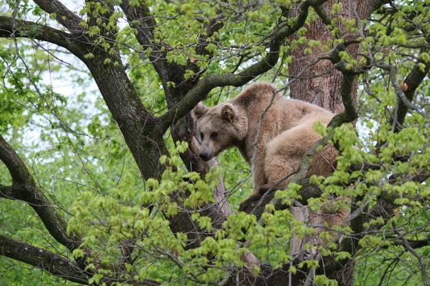 Mit etwas Glück sieht man Bären. Bild: Win Schumacher