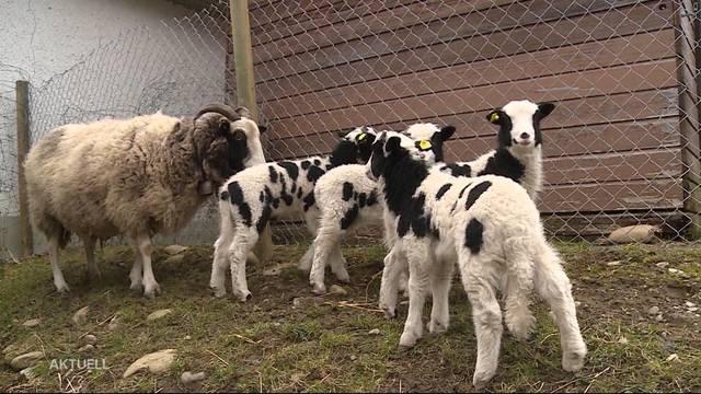 Seltenes Schaf mit grossem Nachwuchs