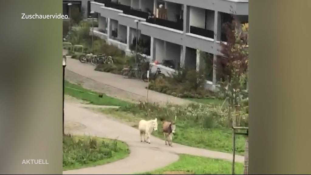 Esel und seltener Maulesel spazieren durch Stadt