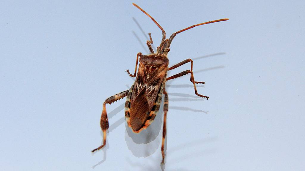 Droht uns bald eine Käferinvasion?