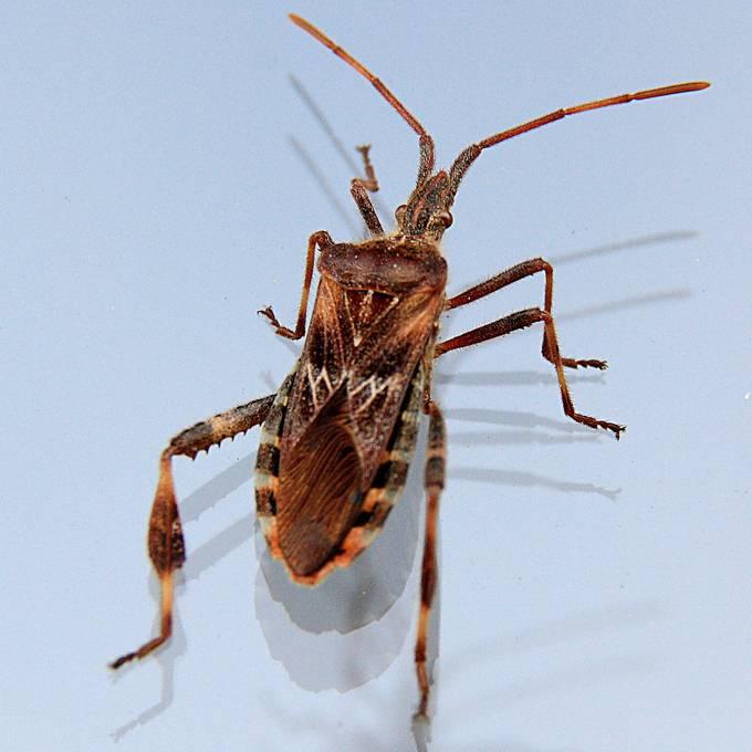 Droht schon bald eine Käferplage?