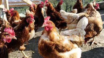 Über eine Million Hühner – hier die Hühnerfarm des Bio-Landwirtschaftsbetriebes Eichberg in Seengen – leben laut dem Statistischen Jahrbuch im Aargau.