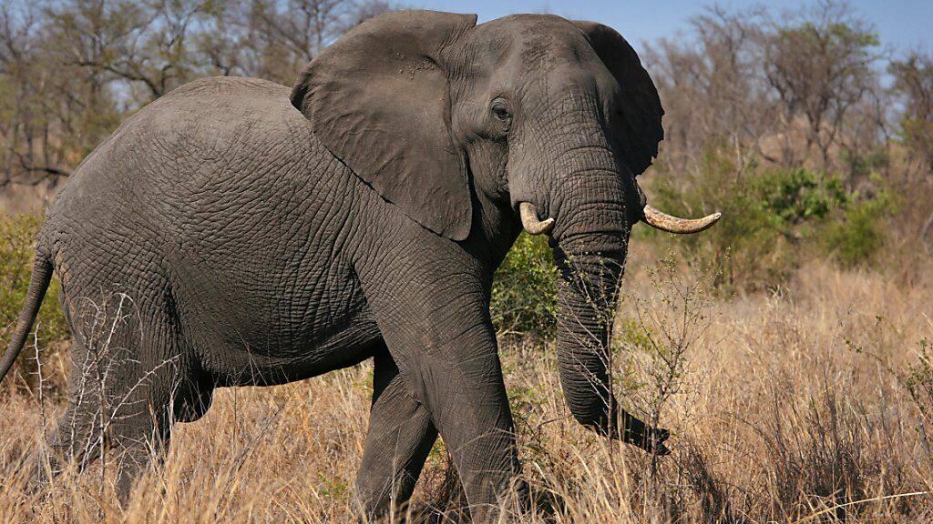 Elefanten vertilgen Nahrung wie ein Staubsauger