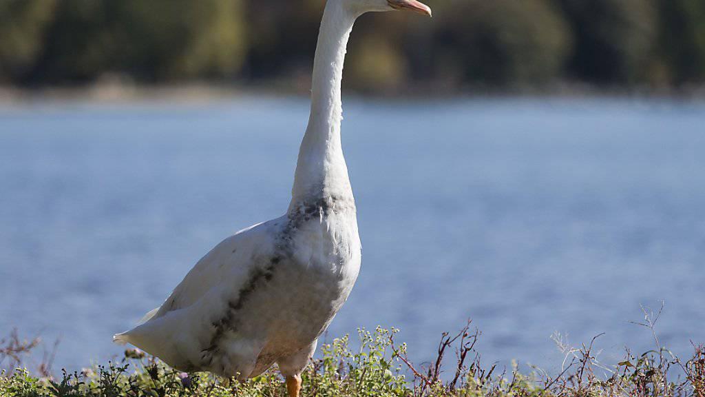 Durch das mit Mineralöl verschmutzte Wasser wurden auch mehrere Vögel in Mitleidenschaft gezogen.