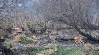 Auf dem Aare-Inseli bei Winznau sind die Spuren des Bibers deutlich zu sehen.