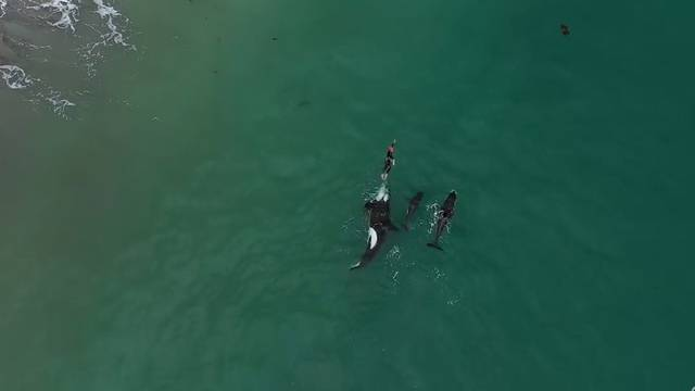 Eindrücklich: Orcas begleiten Schwimmerin