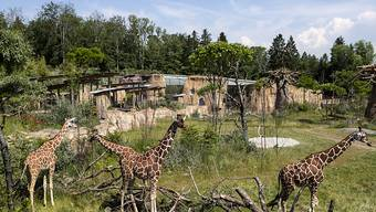 Safari-Gefühl am Zürichberg: Der Zoo eröffnet am Samstag seine Lewa-Savanne. Sie kostete stolze 56 Millionen Franken.