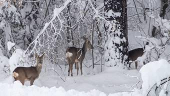 Rehe im Schnee bei Kals am Großglockner in Österreich.