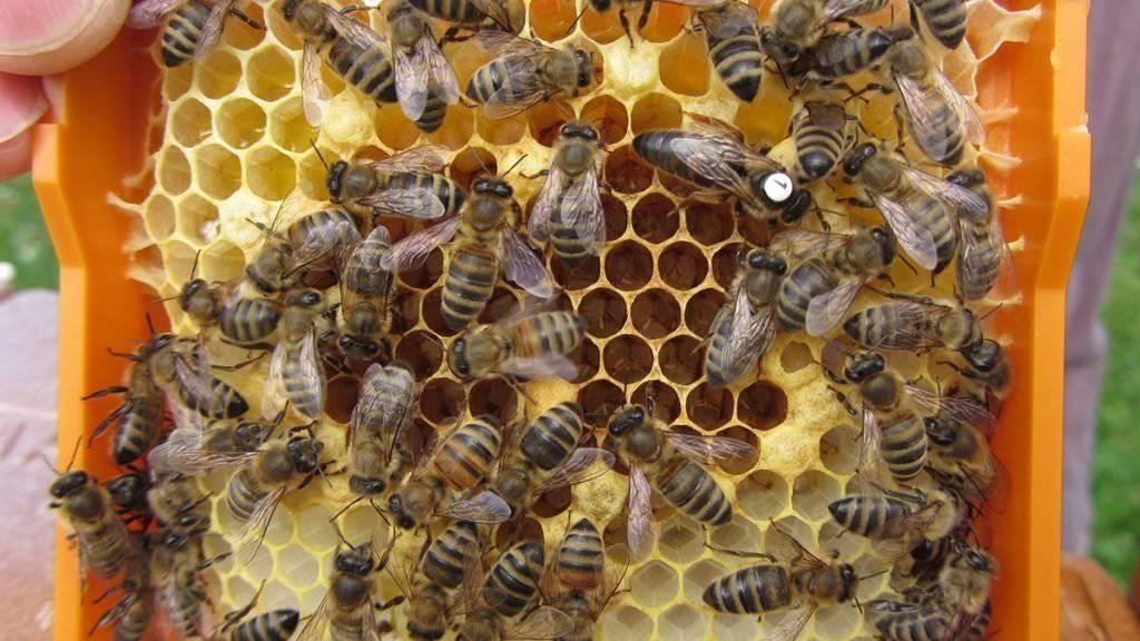 Zwei Insektizide beeinträchtigen die Fortpflanzung von Bienenköniginnen. Die von Arbeiterinnen umringte Königin trägt im Bild eine Markierung. (Foto: Handout)