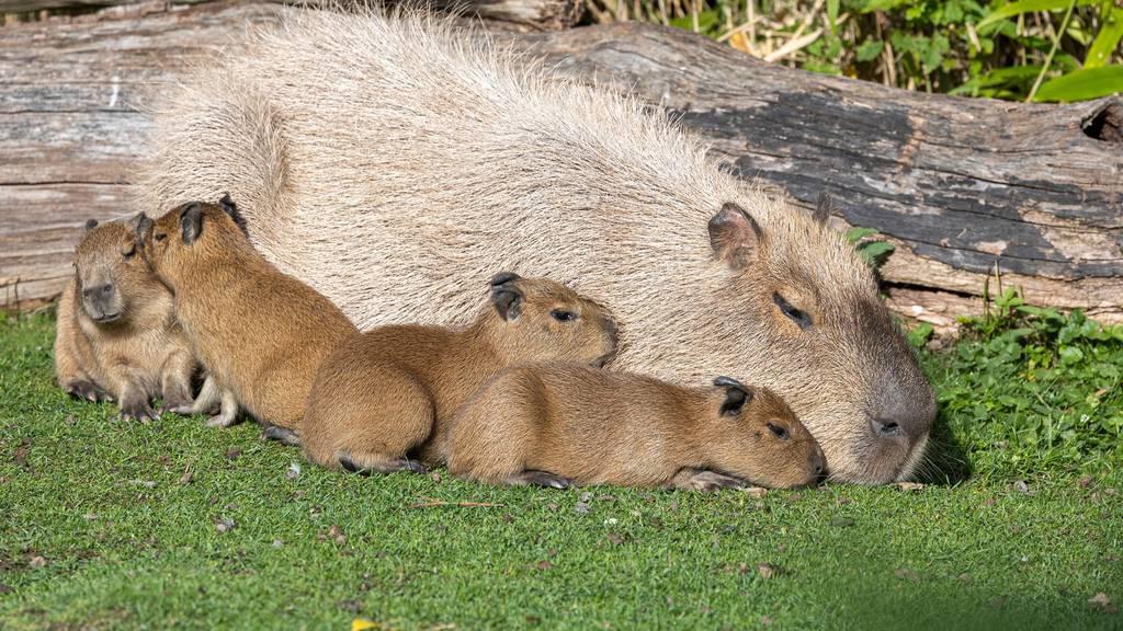 Nachwuchs im Zoo Zürich: Vier junge Capybaras auf die Welt gekommen