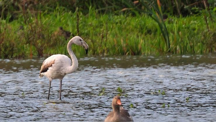 Einsamer Flamingo am Flachsee