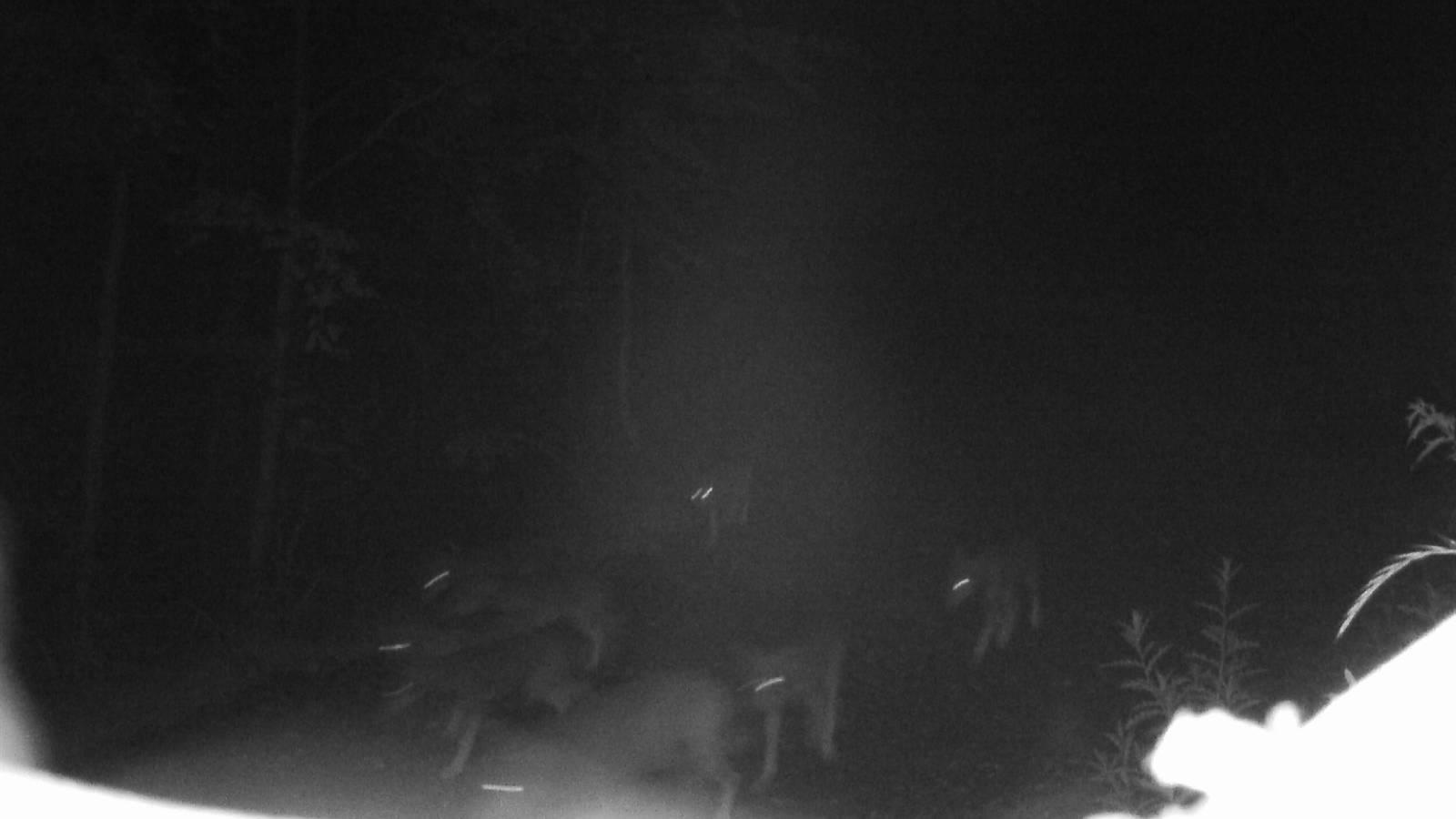 Die Jungwölfe neben dem ausgewachsenen Wolf.