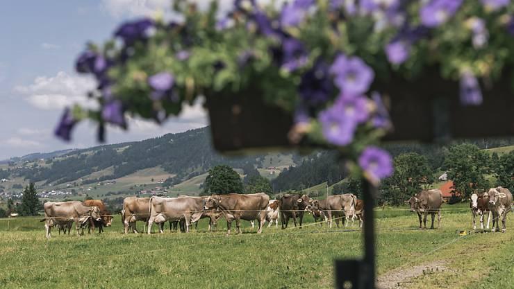 Auf dem Weg zur Weide verköstigten sich die Kühe eines Bauern wiederholt an den Gartenpflanzen eines Hausbesitzers.  (Archiv)