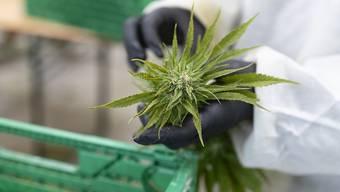 CBD-Hanf kann legal angebaut und konsumiert werden. Eine erste Standortbestimmung zeigt, dass CBD-Cannabis am häufigsten in Form von Blüten verkauft wird, die meist geraucht werden. (Archivbild)