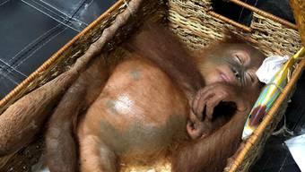 Vor einem russischen Schmuggler gerettet: Der junge Orang-Utan bewusstlos in seinem Rattankorb in Denpasar, Bali.