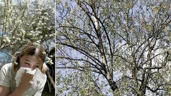 Birke im Frühling – Ein Blütenmeer