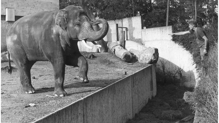 Maxi mit Tierpfleger Ruedi Tanner in der alten Elefantenanlage.