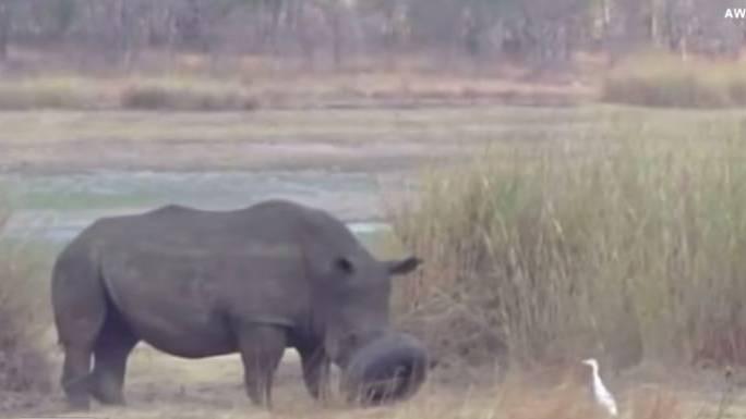Ein Nashorn in Afrika musste wegen eines ungewöhnlichen Vorfalls gerettet werden.