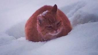 Der Jäger hielt Katze «Wuschel» für einen Fuchs.