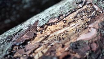 Borkenkäfer legen Eier in die Rinde von Bäumen, um sich rasant zu vermehren. (Symbolbild)