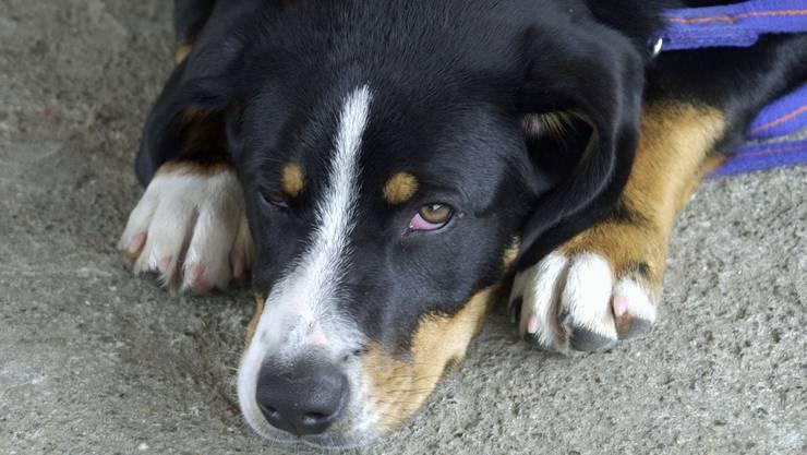 Hunde werden besonders oft Opfer von Misshandlungen und vor allem Vernachlässigungen.  az Hunde werden besonders oft Opfer von Misshandlungen und vor allem Vernachlässigungen.  az