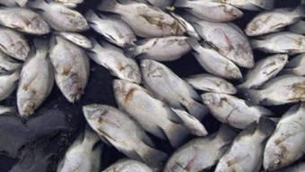 Tote Fische treiben an der Wasseroberfläche eines Sees (Symbolbild)