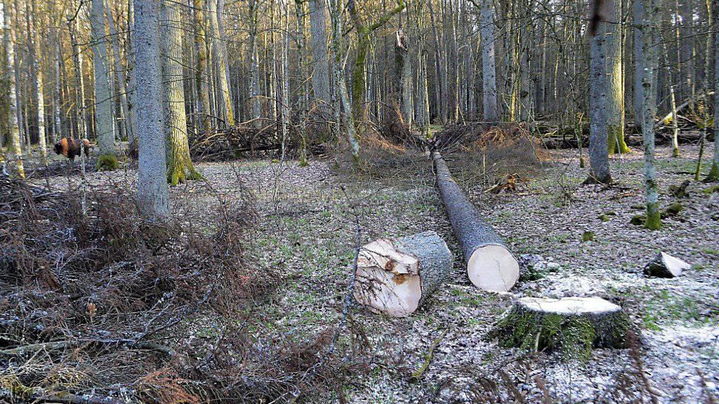Gefällte Tanne im Bialowieza-Urwald - im Hintergrund links ist ein Wisent zu sehen (Archiv)