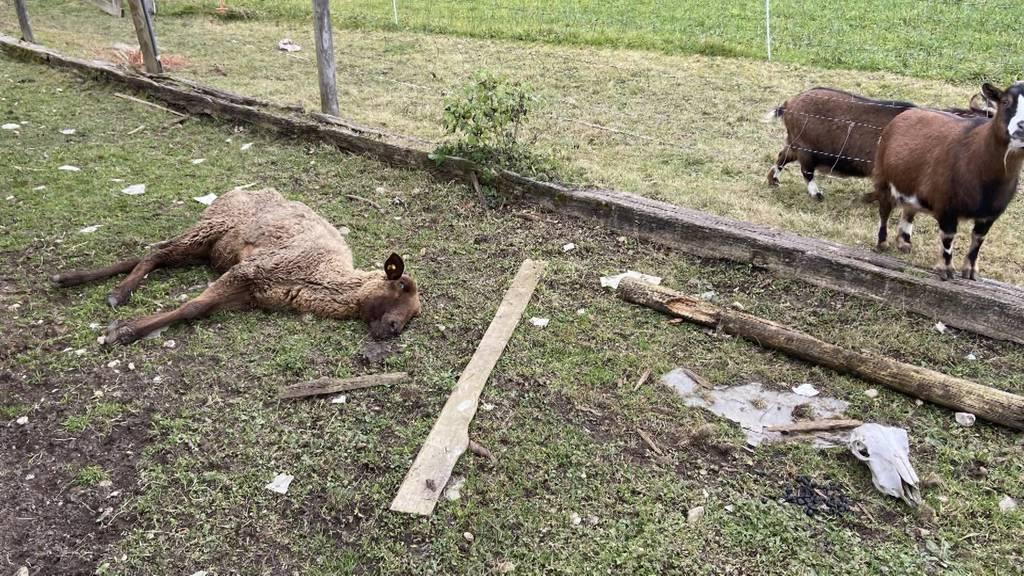 Tierdrama im Aargau: 57-Jähriger wegen miserabler Tierhaltung verhaftet