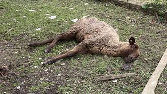 Eine Polizeipatrouille fand in Oftringen zufällig mehrere tote und bereits verweste Schafe. Bild: KAPO