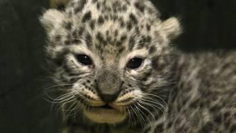 Wurde am Freitag erstmals den Kameras präsentiert: der am 16. Dezember geborene persische Leopard.