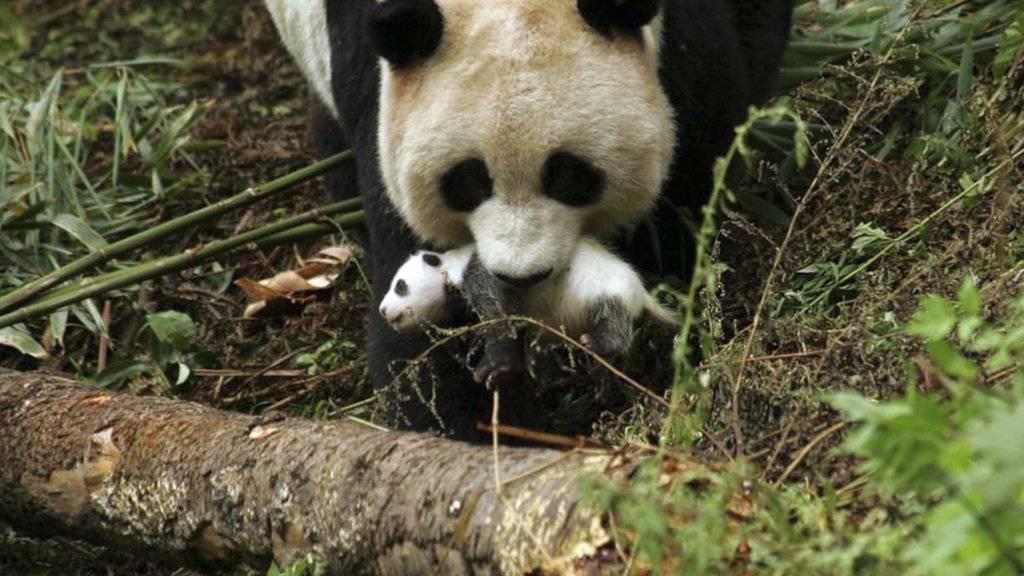 Die in China gefangene Pandabärin Cao Cao bringt erstmals nach der Paarung in der Wildnis Nachwuchs zur Welt. (Archivbild)