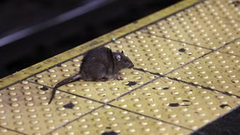 2,9 Millionen Dollar für den Kampf gegen sie: Ratten in New York lösen 24'000 Beschwerden aus.