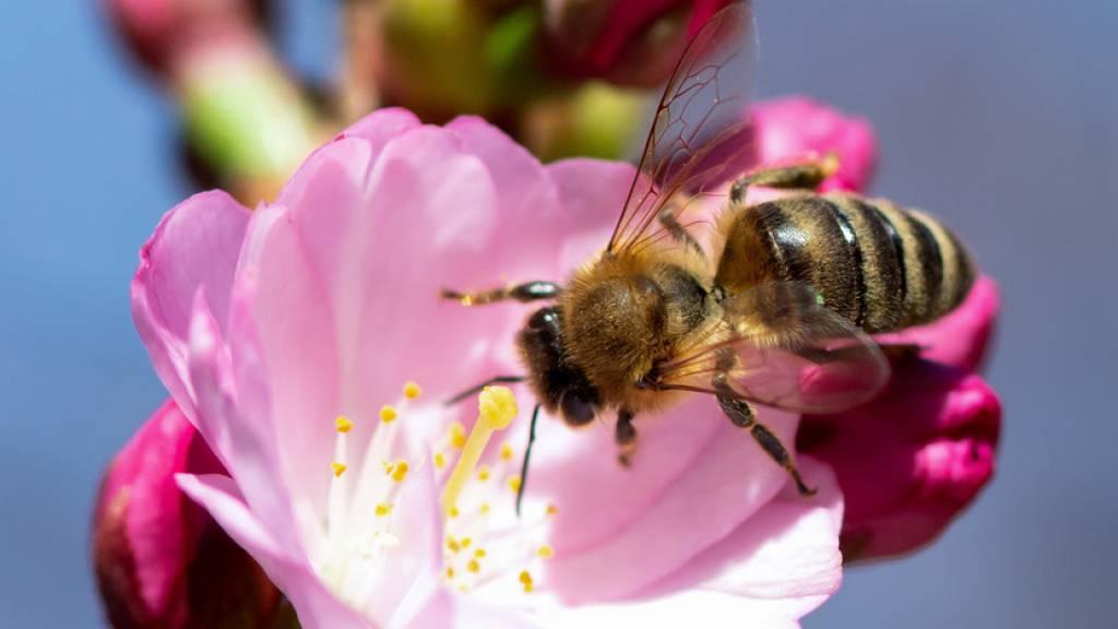 Australiens Bienen-Importe wegen Corona-Pandemie in Gefahr