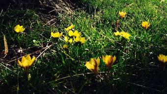 Die Vorboten des Frühlings strecken ihre Köpfe hervor.