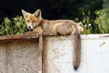 Angelockt werden die jungen Füchse vor allem von Katzengeschirr.